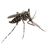 もう蚊をみましたカ?