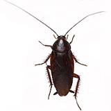 クロゴキブリ│害虫駆除や衛生管...