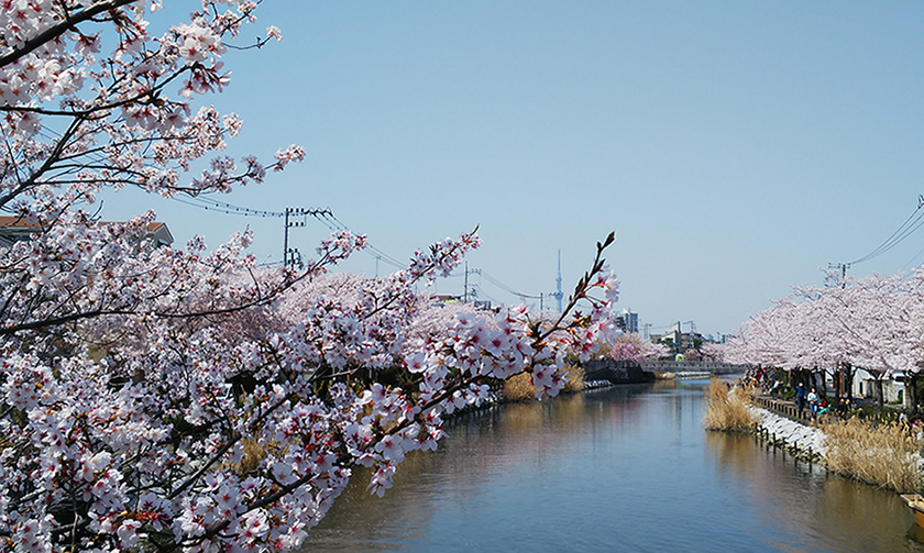 桜を愛でた後は毛虫にご注意を